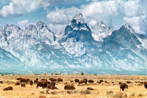 A herd of buffalo grazing at the foot of the Teton Mountains