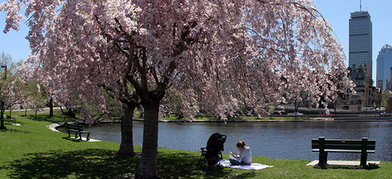 Public Park with Spring Cherry Blossoms