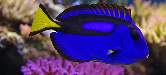 Finding Dory   aka the Blue Tang fish What Type Of Fish Is Dory