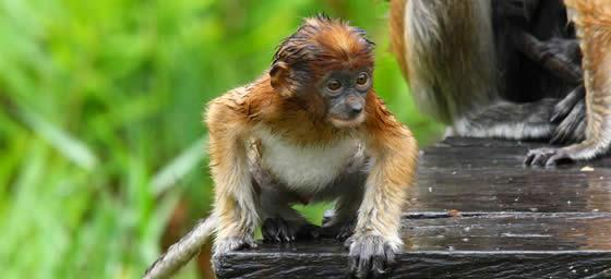 Kota Kinabalu: Baby Proboscis Monkey