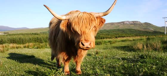 Scotland: Highland Cow