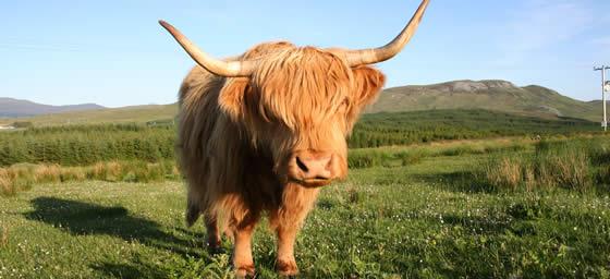 UK: Scotland - Highland Cow