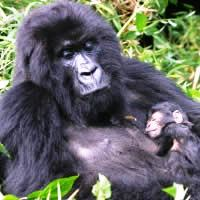 Mountain Gorillas of Rwanda, 4 Days