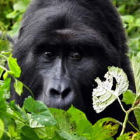 Gorillas, Chimps & Game Parks, 16 Days