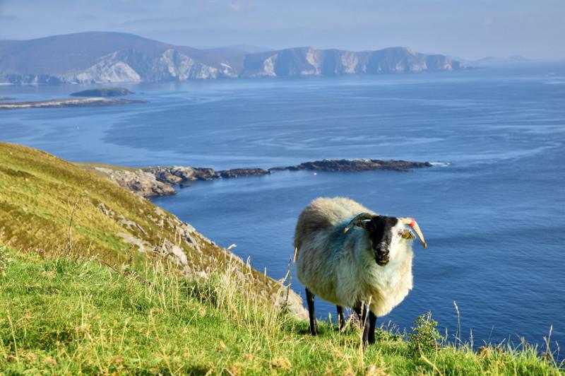 Mountain goat on Achill Island