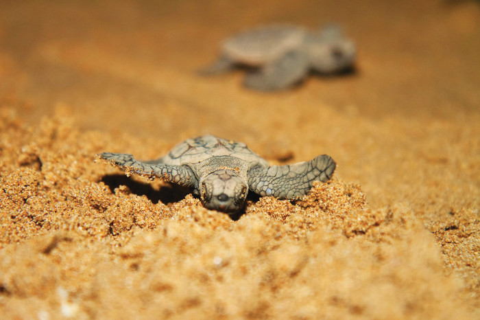 Baby turtle makes its way to the ocean at Mon Repos, Queensland.