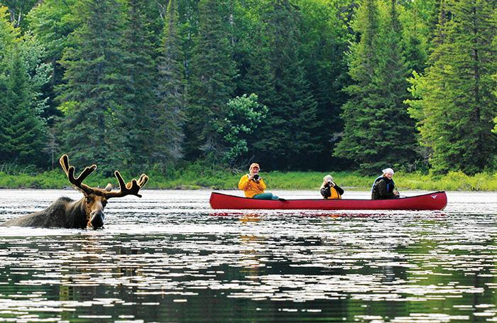 moose in river canada