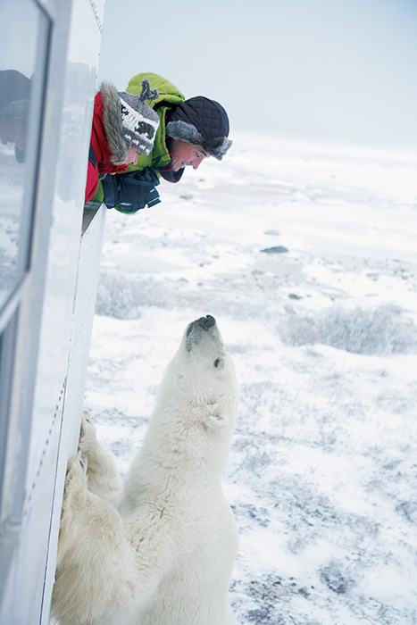 polar bear churchill manitoba canada