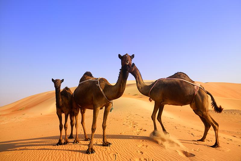 camels in desert near Abu Dhabi