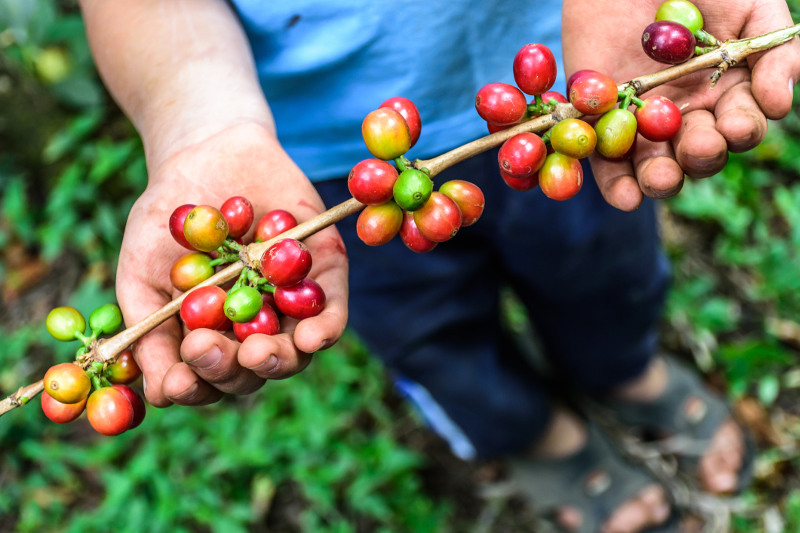 Hands hold ripening coffee beans.