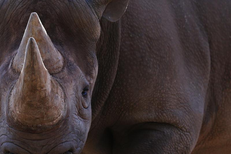A close-up of a rare black rhinoceros.
