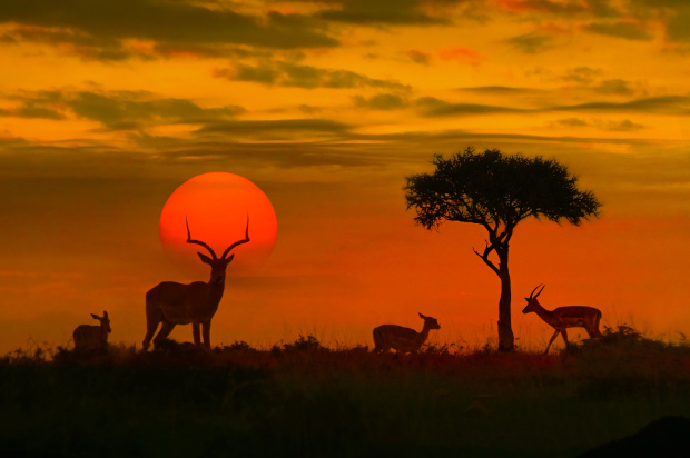 Impala grazing in front of the setting sun