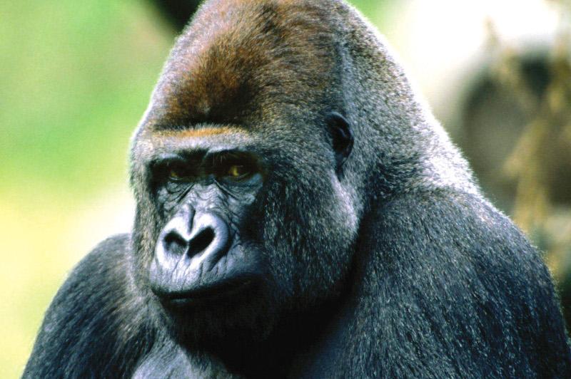 Close up of mountain gorilla