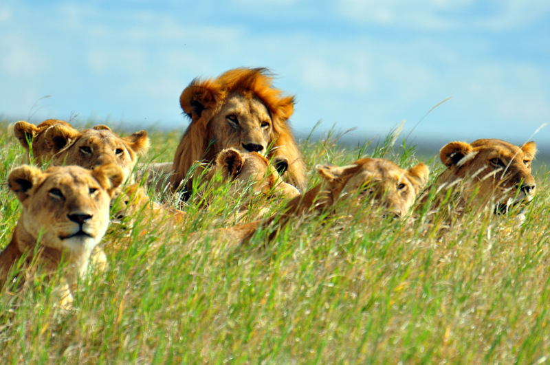 A pride of lions in the grass