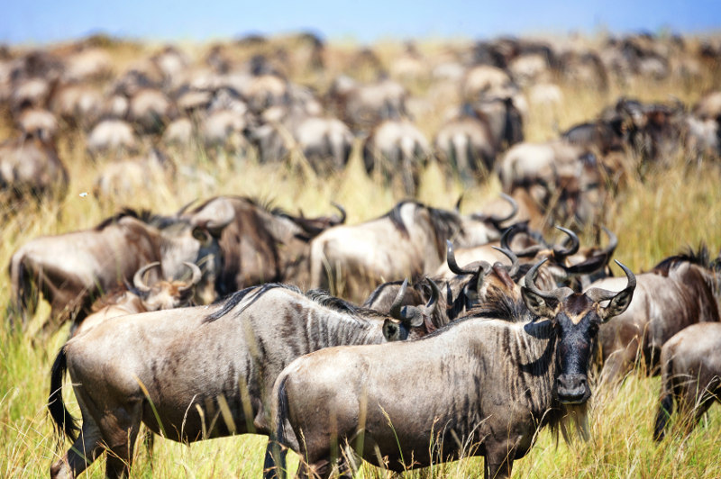 The megaherd of wildebeest in Tanzania during the Great Migration.