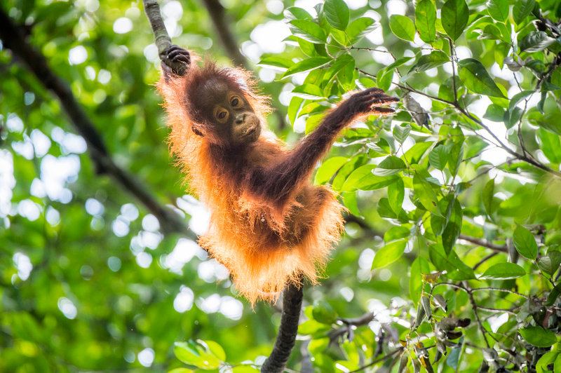 A baby orang-utan stretches between two trees in Borneo.