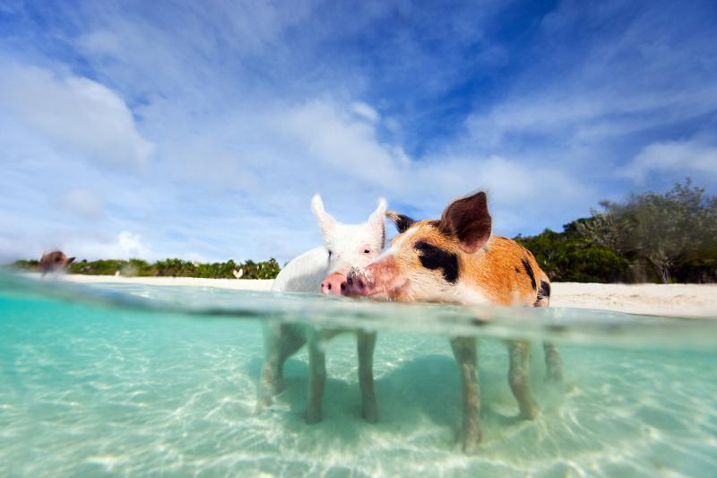 Swimming pigs Bahamas.