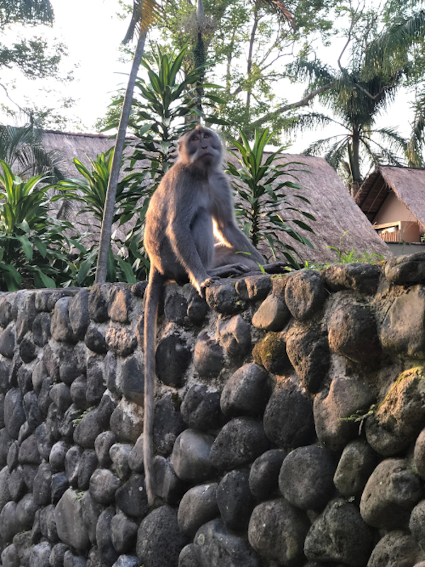 Monkey sitting on a wall among the forest in Ubud