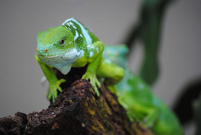 banded iguana fiji