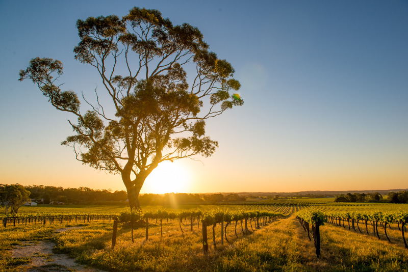 A vineyard in the Barossa