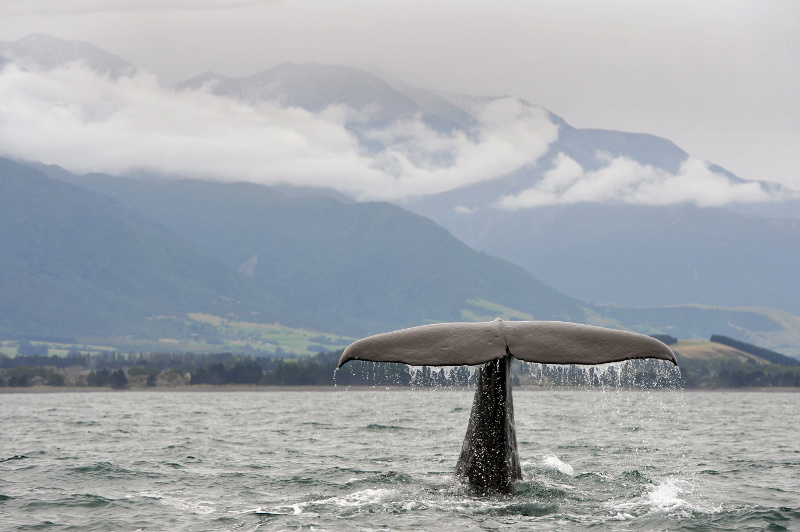 A sperm whale's tale in the waters off Kaikoura, New Zealand.