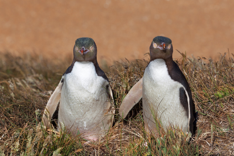 A close-up of two penguins on the Otago Peninsula.