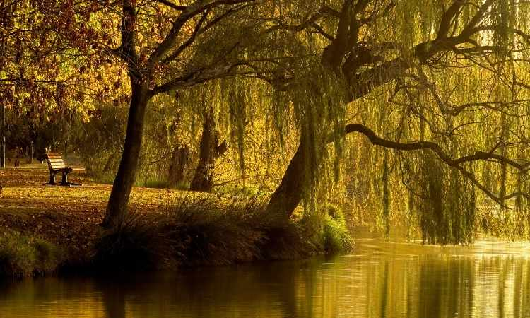 Large trees drooping onto river with bench