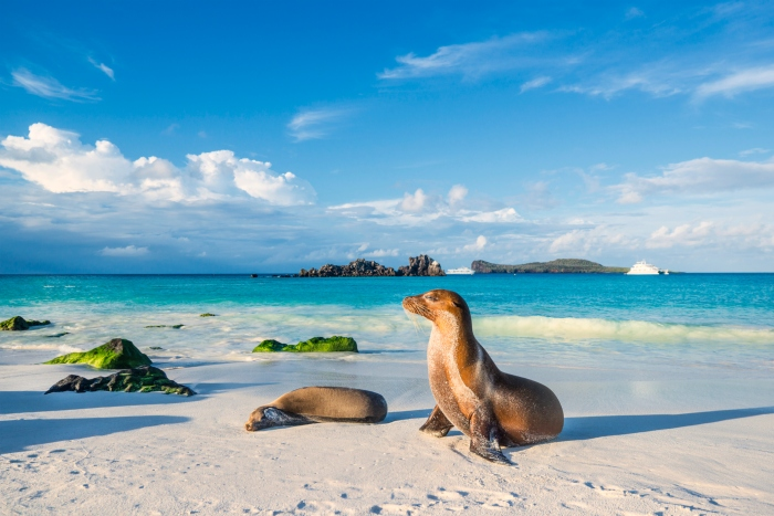 Endemic Galapagos Islands sea lions play on the beach of Espanola Island - cruise trends to try