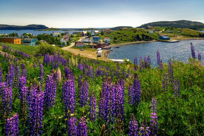 An image of Trinity Bay, Newfoundland, with colourful houses in the background and purple flowers in the foreground - cruise trends to try
