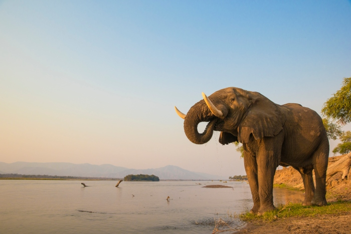 A young elephant bull takes a drink from the Chobe River in Zambezi - cruise trends to try