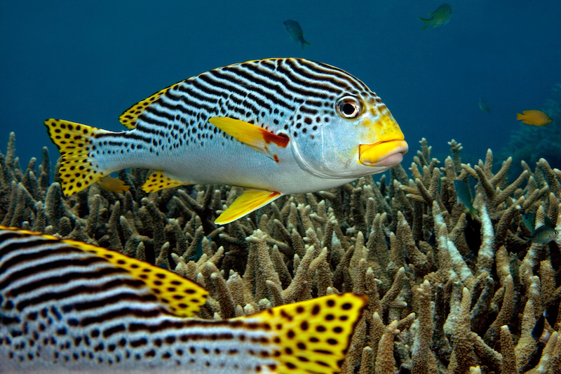 Sweet Lip on the Great Barrier Reef