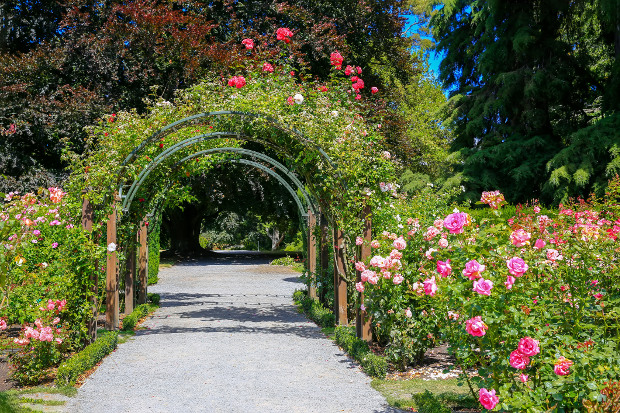 The rose arch at the Christchurch Botanical Gardens