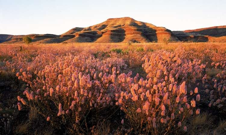 Wildflowers in Western Australia