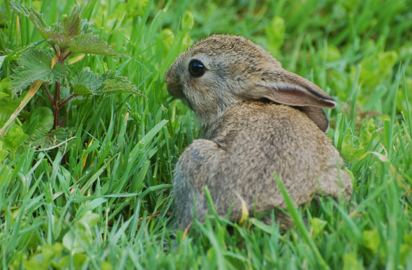 A rabbit nibbles on grass in the Lost Gardens of Heligan, Cornwall, England.