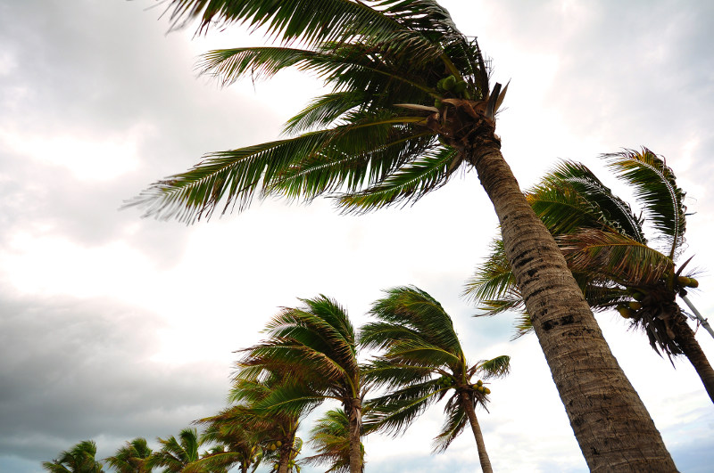 Palm trees bend under hurricane-force winds.