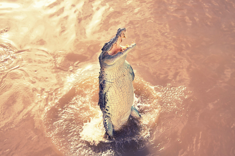 A crocodile leaps out of the water at the Adelaide River, Northern Territory.