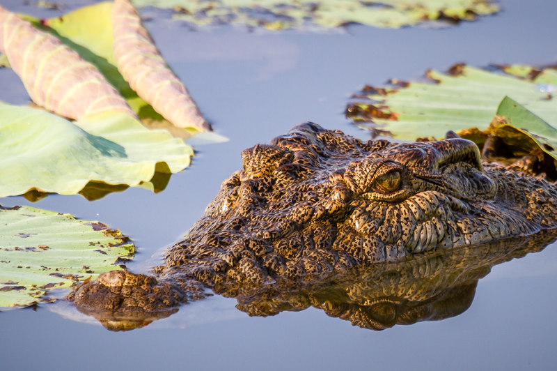 A close-up view of a saltwater crocodile at Corroboree Billabong in the Northern Territory.