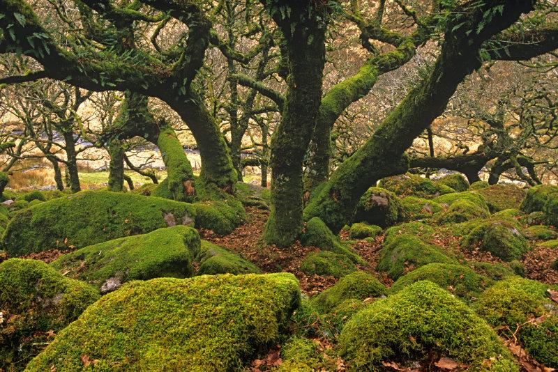 Wistman's Wood trees