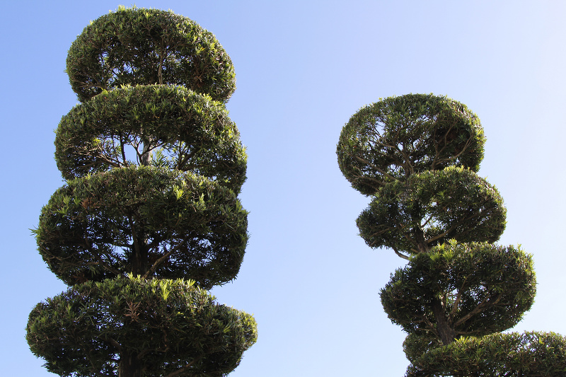 Two topiary trees found in Disneyland