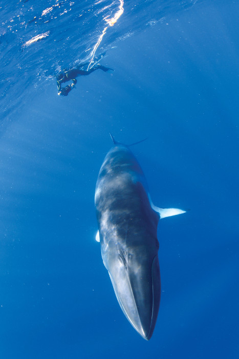 snorkeller with drwaft minke whale great barrier reef queensland