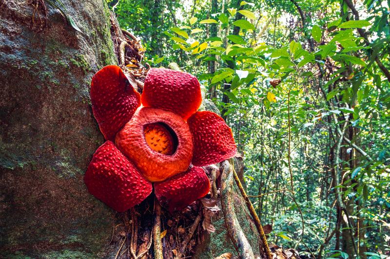 Rafflesia flower in Thailand.