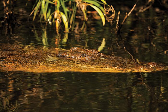saltwater crocodile far north queensland
