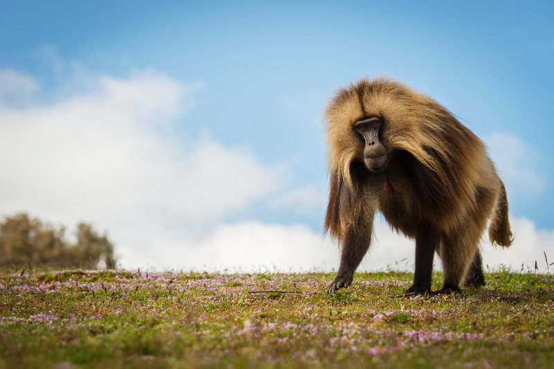 A gelada baboon strikes a fine pose in the Simien Mountains. Image: Getty