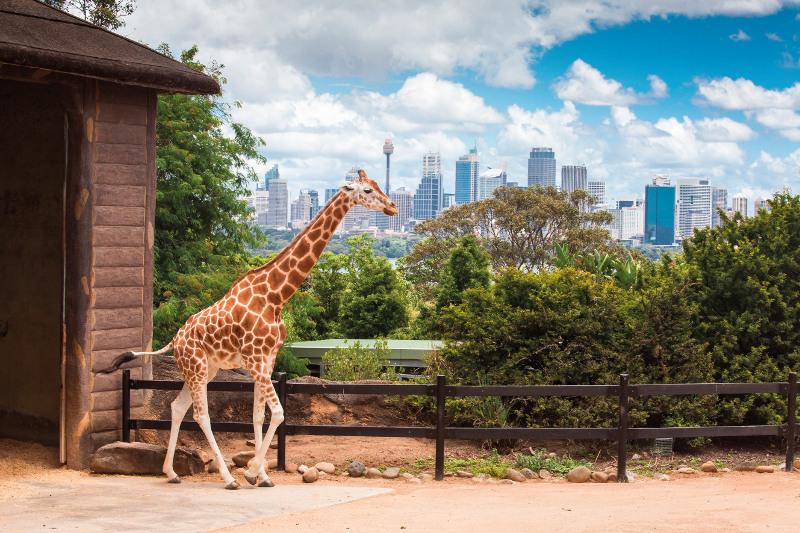 A giraffe at Taronga Zoo in Sydney