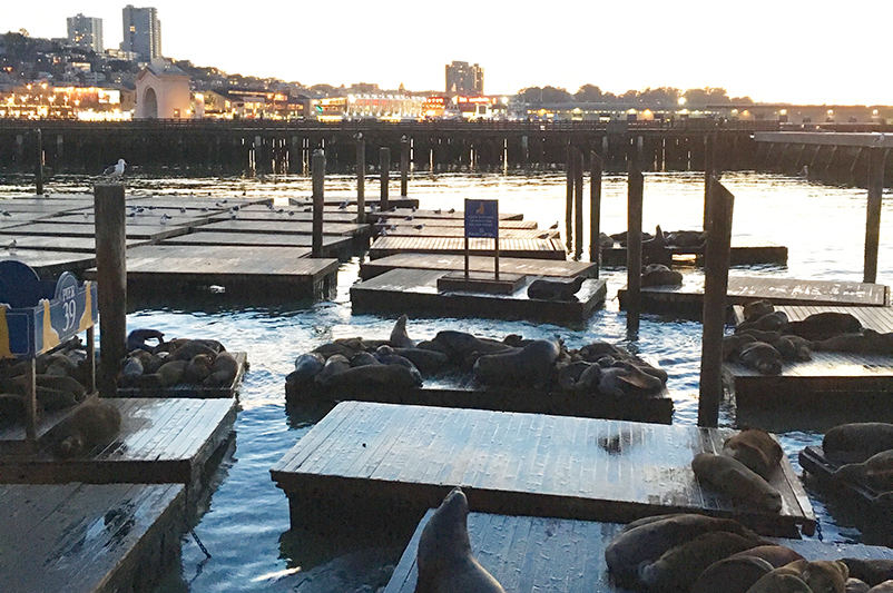The sea lions basking at Pier 39 in San Francisco