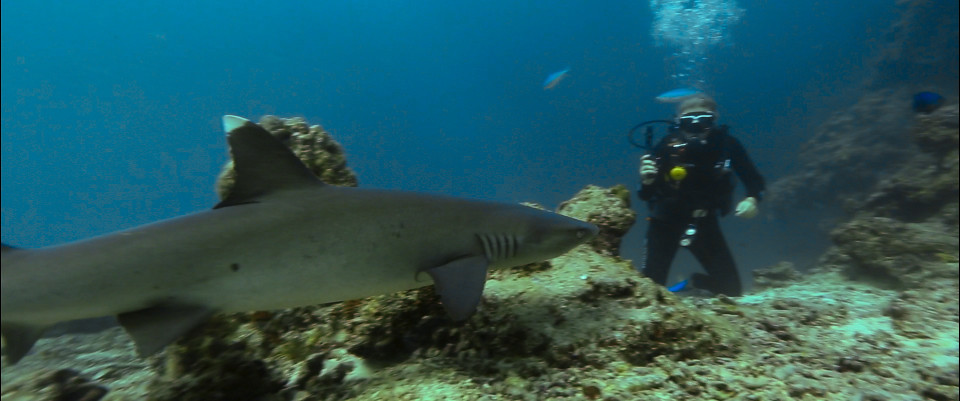 scuba diving with sharks fiji