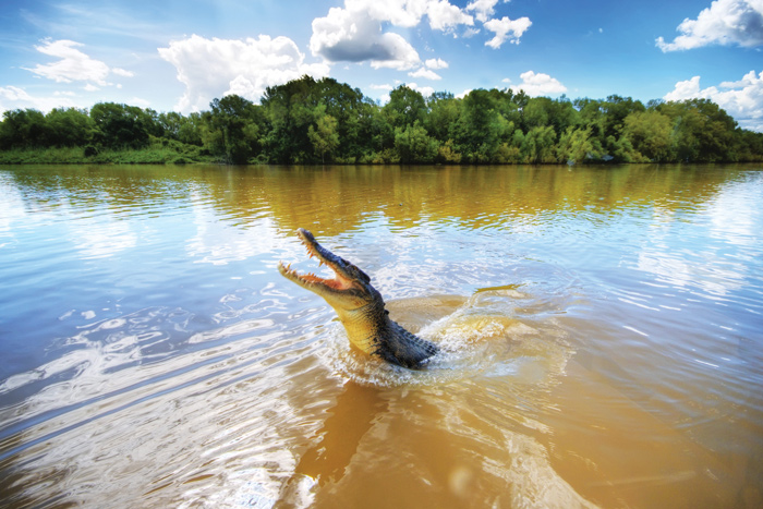 a crocodile jumps from the water in Adelaide River