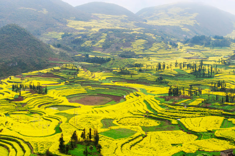 Terraced canola fields in bloom in near village of Luoping in Yunnan province, China.