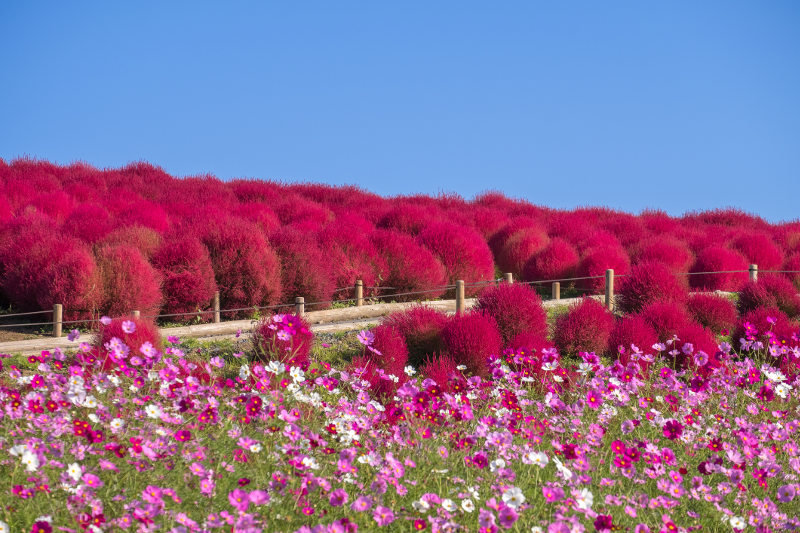 A kochia scoparia and cosmos flower field at Hitachi Seaside Park in Japan.