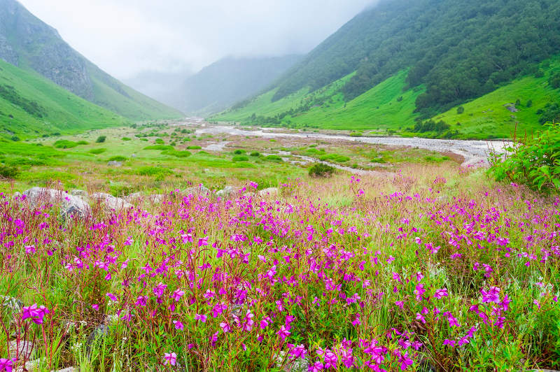Pink flowers bloom by a rushing river in Valley of Flowers, Uttarakhand, India.